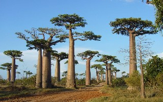 Baobabs Madagascar tree nature wallpaper